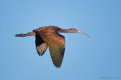 White faced ibis
