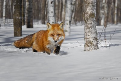 Red Fox winter scene