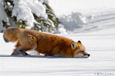 Red Fox sniffs scent
