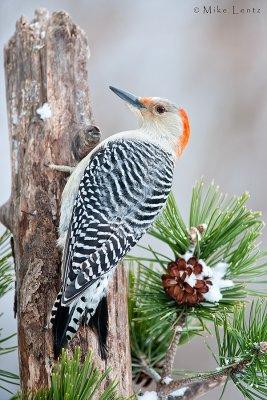 Red Bellied Woodpecker (female)