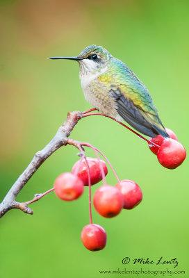 Hummingbird on berries