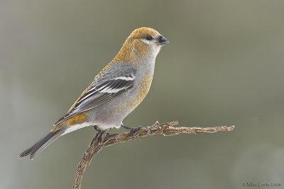 Pine Grosbeak (female) perched