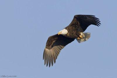 Mature bald eagle overhead