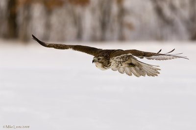 Redtail on the hunt