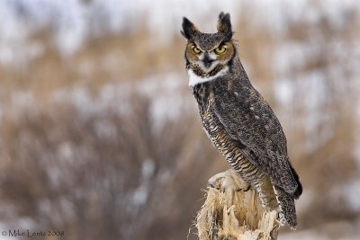 Great Horned Owl on sheared stump