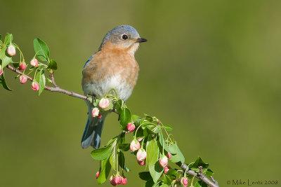 Bluebird (female) on crabapple buds