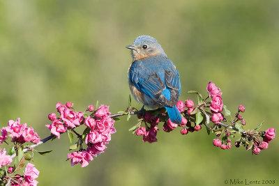 Bluebird looking back on crabapple