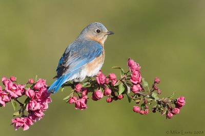 Bluebird posed on crabapple blossom