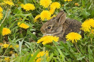 Bunny  Rabbit in the dandelions