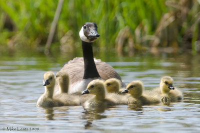 Mother goose with family