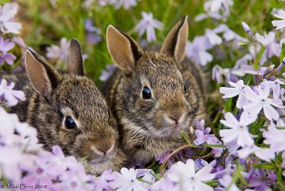 Bunny combo in phlox