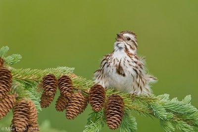 Song sparrow singing on pines