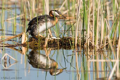 Red Necked Grebe on eggs