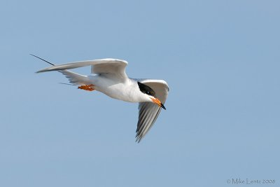 Forsters Tern diving