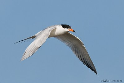 Forsters Tern in flight