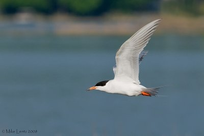 Forsters tern side view