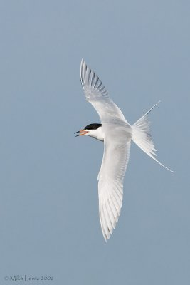 Forsters tern banking