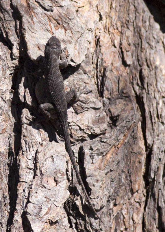 Western Fence Lizard (<em>Sceloporus occidentalis</em>)