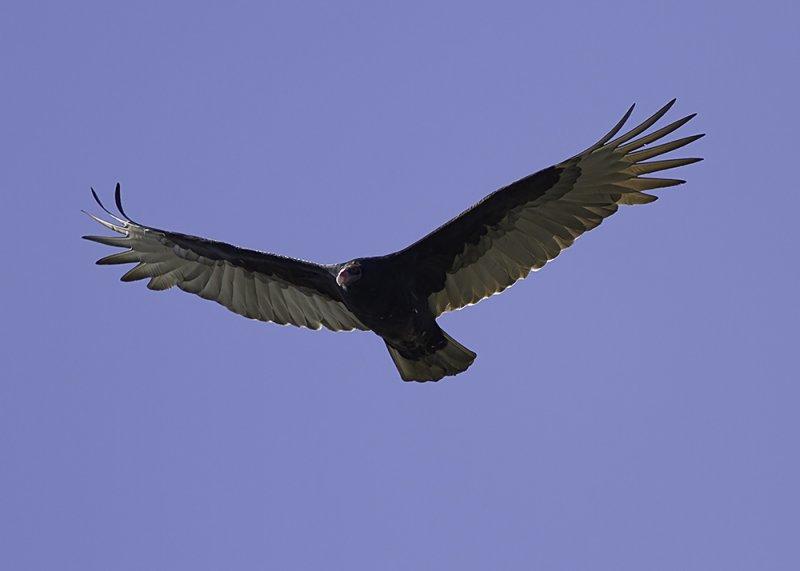 Turkey Vulture (immature)
