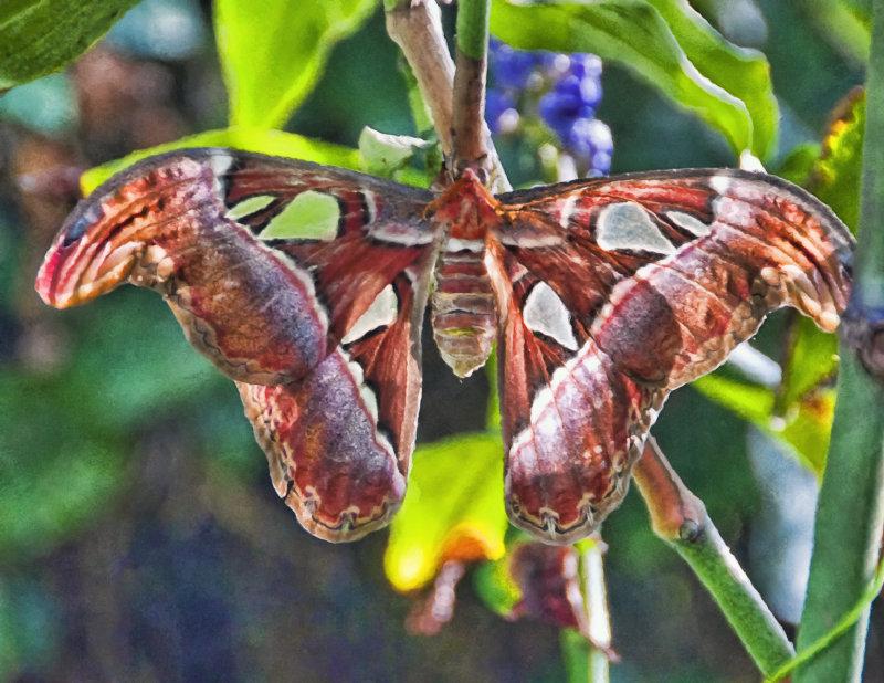 Atlas Moth Monet