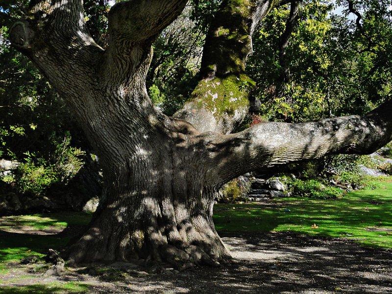 Muckross House - Tree