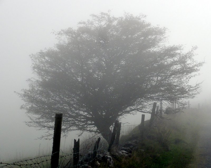 Tree in Irish mist.