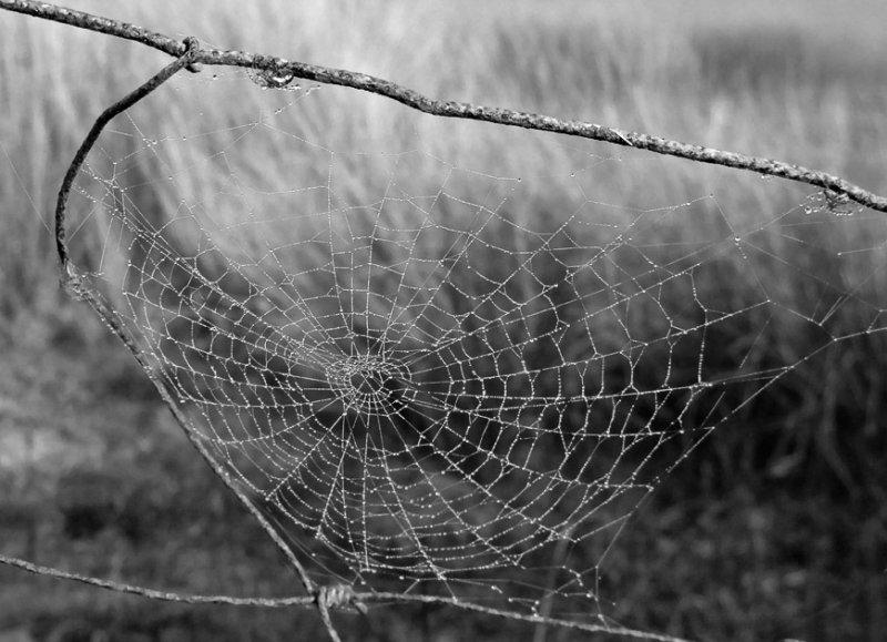 Web on a misty day- B&W