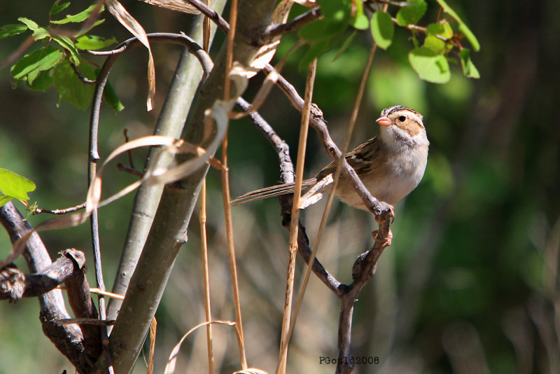 3007   Clay-colored Sparrow