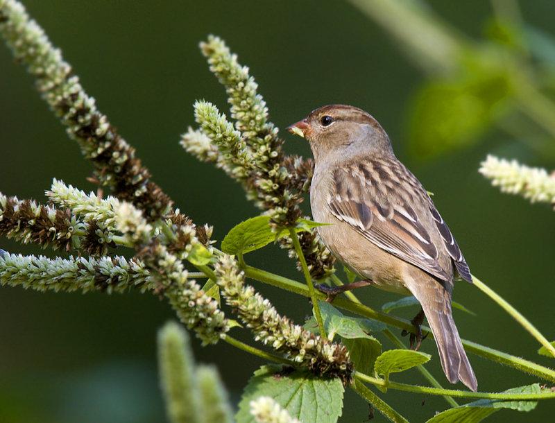 ? Sparrow
