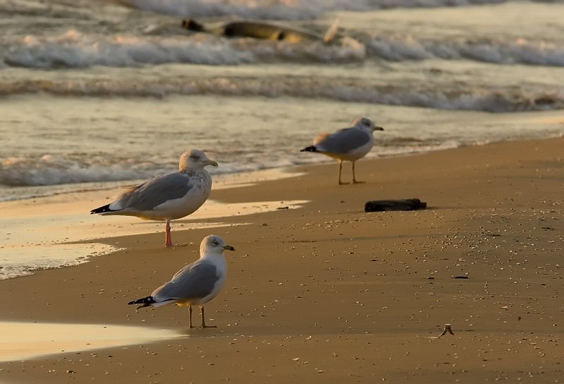 Herring Gull (middle) with Ring-billeds