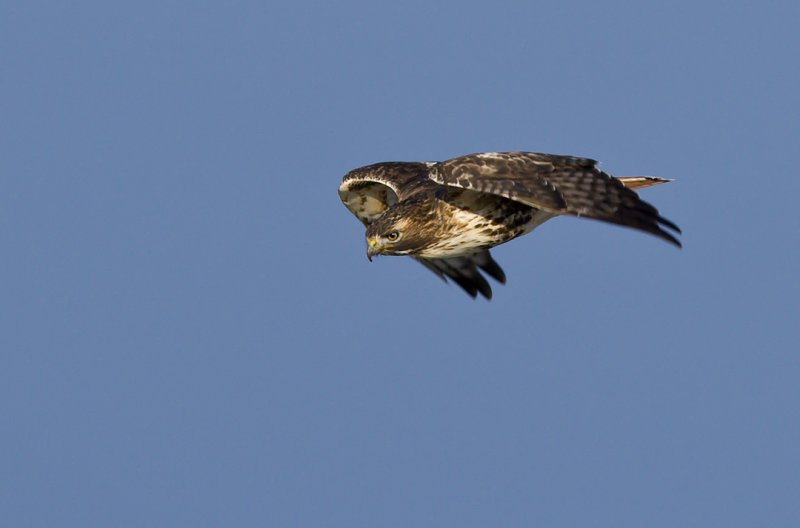 Red-tailed Hawk focused on prey