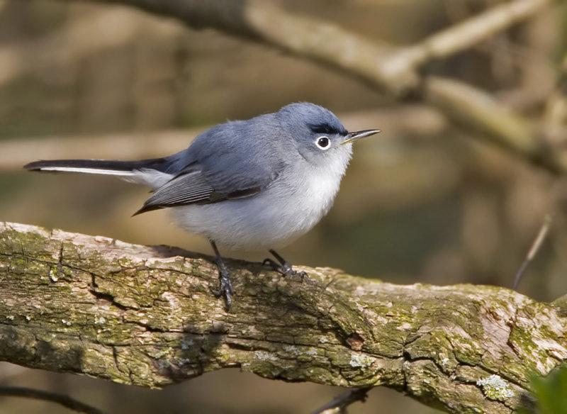 Blue-gray Gnatcatcher male