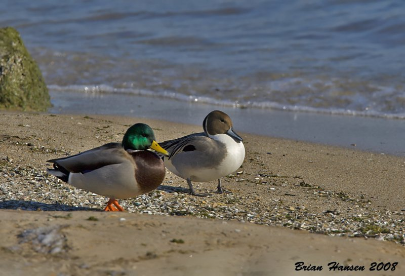 Mallard and Northern Pintail