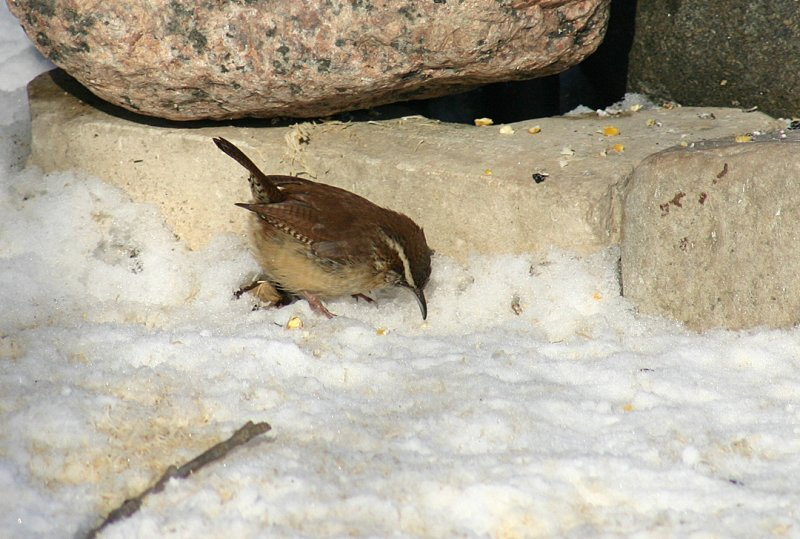 Carolina Wren - January 2008