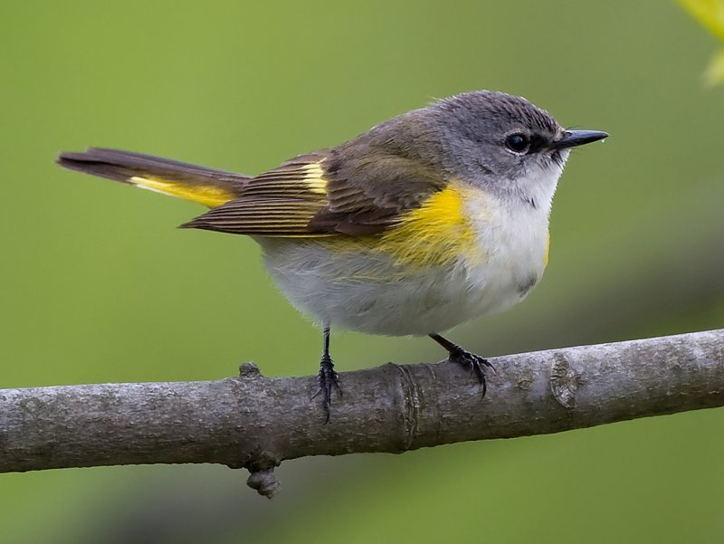 American Redstart female