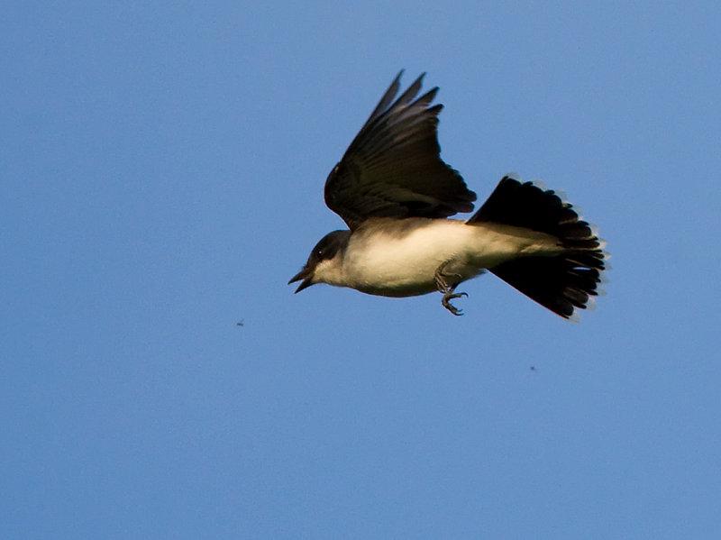 Eastern Kingbird catching a gnat 4680