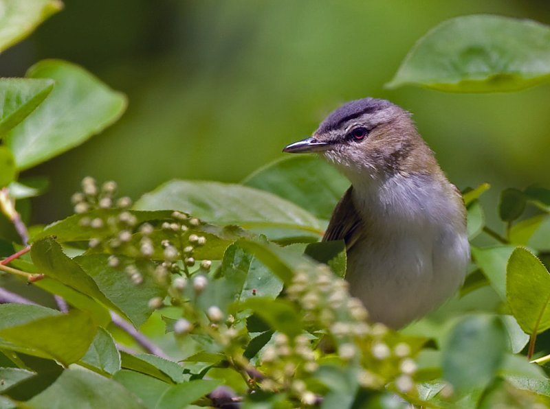 Red-eyed Vireo 6121