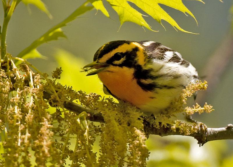Blackburnian Warbler 6196