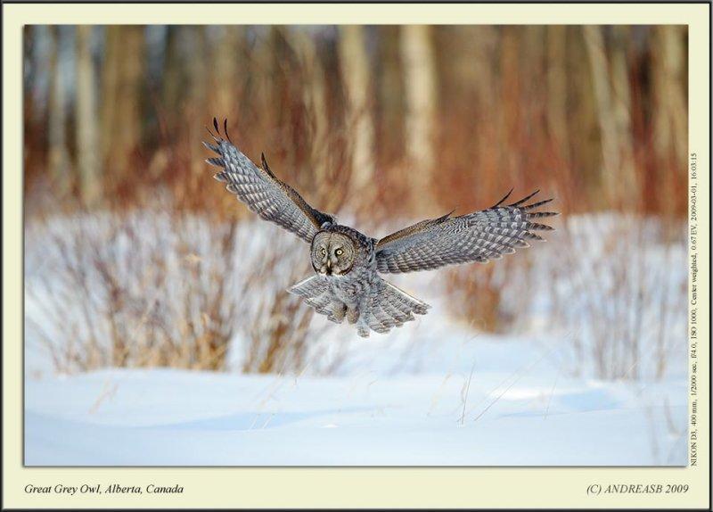 Great Grey Owl, Alberta, Canada