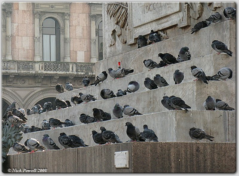 Wino Pigeons