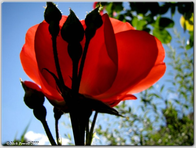 A rose belonging to the constant gardener