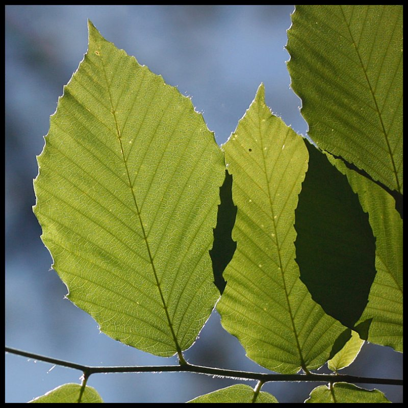 Leaves and Shadow Leaf