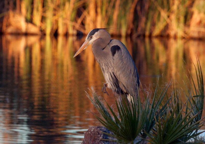 Blue Heron - MG_5459.jpg
