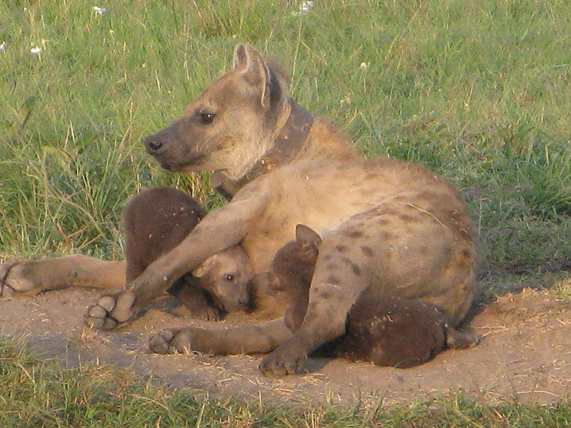 Spotted Hyena with cubs