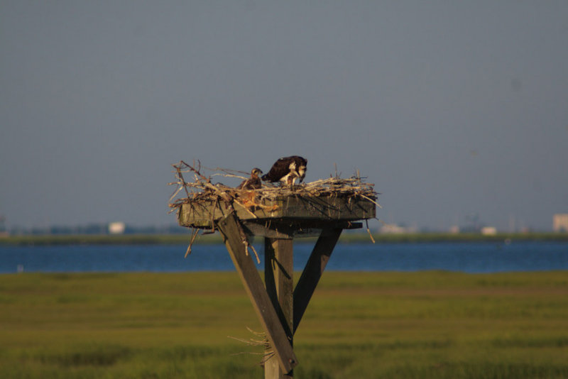 Osprey on nest with two young