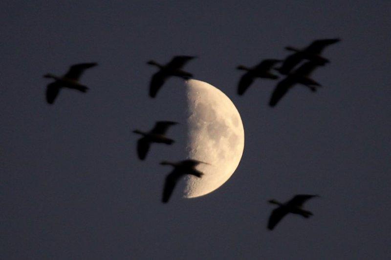 beaudet--IMG_0327-oies et lune-900.jpg