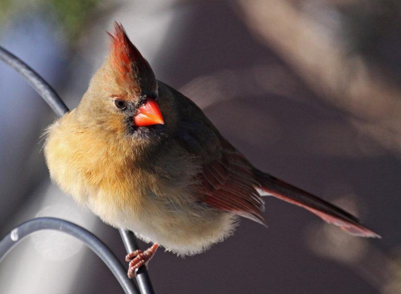 IMG_0207-cardinal f_-900.jpg