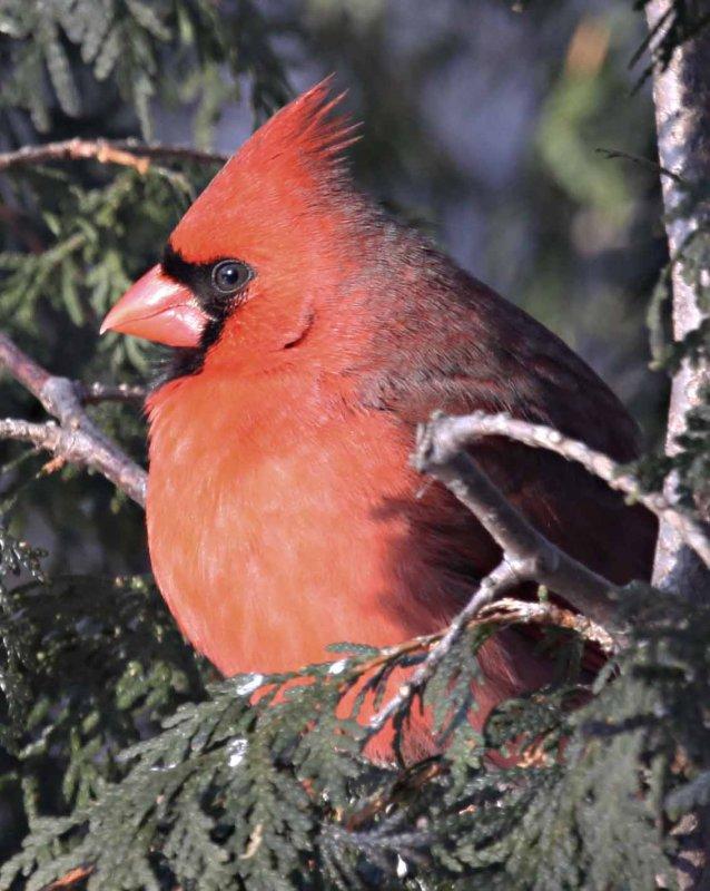 IMG_0006-cardinal r_edited-1.jpg