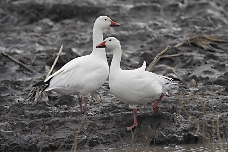 IMG_0236_2 oies blanches--900.jpg