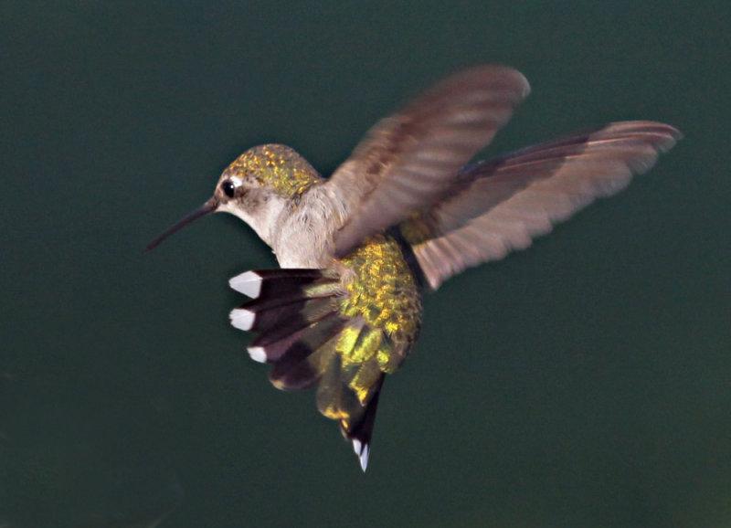 2009 08 14_3016--colibri---1000.jpg